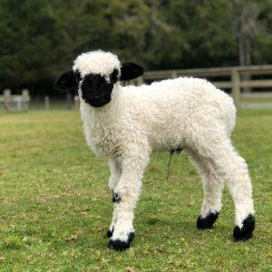 Agrodome-Lamb