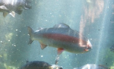 Rainbow Springs _trout-1